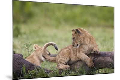 Lion (Panthera Leo) Cubs Playing, Ngorongoro Crater, Tanzania, East Africa, Africa-James Hager-Mounted Photographic Print