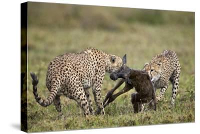 Two Male Cheetah (Acinonyx Jubatus) Killing a New Born Blue Wildebeest (Brindled Gnu) Calf-James Hager-Stretched Canvas Print