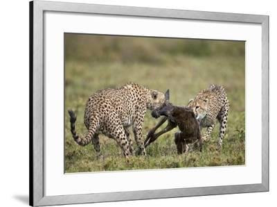 Two Male Cheetah (Acinonyx Jubatus) Killing a New Born Blue Wildebeest (Brindled Gnu) Calf-James Hager-Framed Photographic Print