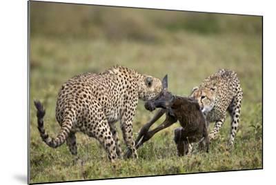 Two Male Cheetah (Acinonyx Jubatus) Killing a New Born Blue Wildebeest (Brindled Gnu) Calf-James Hager-Mounted Photographic Print