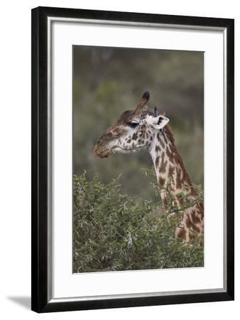 Masai Giraffe (Giraffa Camelopardalis Tippelskirchi)-James Hager-Framed Photographic Print