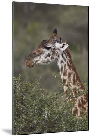 Masai Giraffe (Giraffa Camelopardalis Tippelskirchi)-James Hager-Mounted Photographic Print