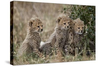 Three Cheetah (Acinonyx Jubatus) Cubs About a Month Old-James Hager-Stretched Canvas Print
