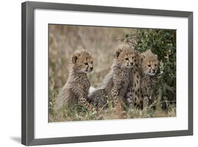 Three Cheetah (Acinonyx Jubatus) Cubs About a Month Old-James Hager-Framed Photographic Print