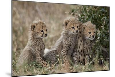 Three Cheetah (Acinonyx Jubatus) Cubs About a Month Old-James Hager-Mounted Photographic Print