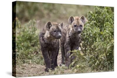 Two Spotted Hyena (Spotted Hyaena) (Crocuta Crocuta) Pups-James Hager-Stretched Canvas Print