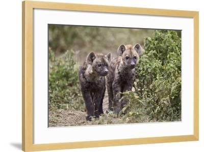 Two Spotted Hyena (Spotted Hyaena) (Crocuta Crocuta) Pups-James Hager-Framed Photographic Print