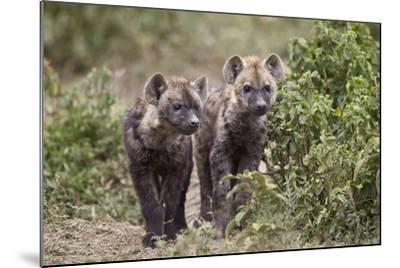 Two Spotted Hyena (Spotted Hyaena) (Crocuta Crocuta) Pups-James Hager-Mounted Photographic Print
