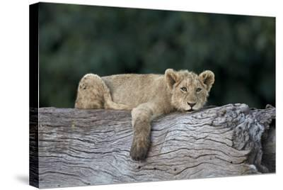 Lion (Panthera Leo) Cub on a Downed Tree Trunk, Ngorongoro Crater, Tanzania, East Africa, Africa-James Hager-Stretched Canvas Print