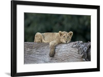 Lion (Panthera Leo) Cub on a Downed Tree Trunk, Ngorongoro Crater, Tanzania, East Africa, Africa-James Hager-Framed Photographic Print