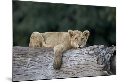 Lion (Panthera Leo) Cub on a Downed Tree Trunk, Ngorongoro Crater, Tanzania, East Africa, Africa-James Hager-Mounted Photographic Print