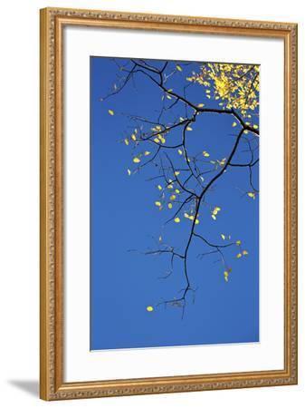 Yellow Aspen Leaves Against a Blue Sky in the Fall, Grand Mesa National Forest, Colorado, Usa-James Hager-Framed Photographic Print
