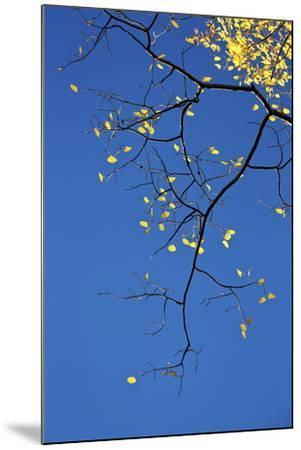 Yellow Aspen Leaves Against a Blue Sky in the Fall, Grand Mesa National Forest, Colorado, Usa-James Hager-Mounted Photographic Print