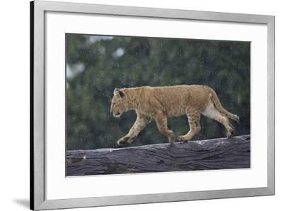 Lion (Panthera Leo) Cub on a Downed Tree Trunk in the Rain-James Hager-Framed Photographic Print