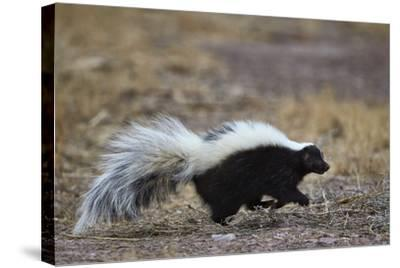 Striped Skunk (Mephitis Mephitis), Bosque Del Apache National Wildlife Refuge, New Mexico, Usa-James Hager-Stretched Canvas Print