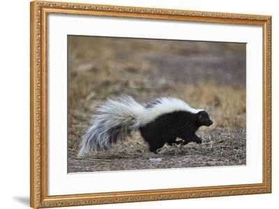 Striped Skunk (Mephitis Mephitis), Bosque Del Apache National Wildlife Refuge, New Mexico, Usa-James Hager-Framed Photographic Print