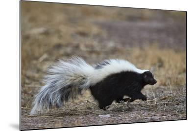 Striped Skunk (Mephitis Mephitis), Bosque Del Apache National Wildlife Refuge, New Mexico, Usa-James Hager-Mounted Photographic Print