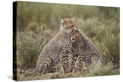 Cheetah (Acinonyx Jubatus) Cubs, Serengeti National Park, Tanzania, East Africa, Africa-James Hager-Stretched Canvas Print