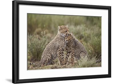 Cheetah (Acinonyx Jubatus) Cubs, Serengeti National Park, Tanzania, East Africa, Africa-James Hager-Framed Photographic Print
