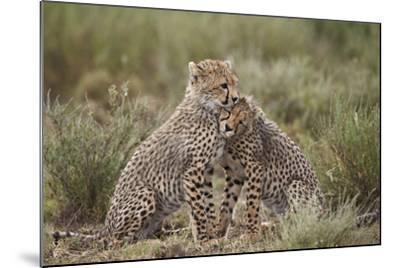 Cheetah (Acinonyx Jubatus) Cubs, Serengeti National Park, Tanzania, East Africa, Africa-James Hager-Mounted Photographic Print