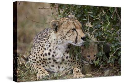 Cheetah (Acinonyx Jubatus) Mother and Cub-James Hager-Stretched Canvas Print