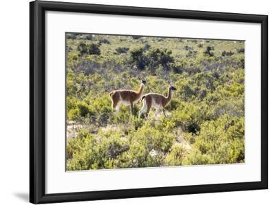 Guanacos, Argentina-Peter Groenendijk-Framed Photographic Print