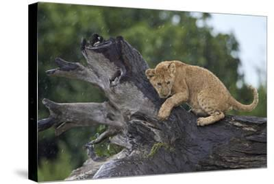 Lion (Panthera Leo) Cub on a Downed Tree Trunk in the Rain-James Hager-Stretched Canvas Print