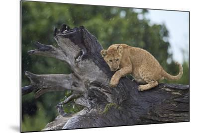 Lion (Panthera Leo) Cub on a Downed Tree Trunk in the Rain-James Hager-Mounted Photographic Print