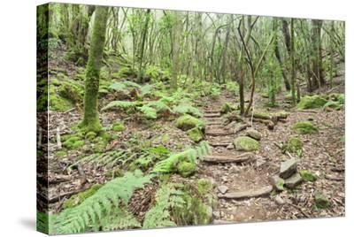 Laurel Forest, Laurisilva, Parque Nacional De Garajonay, La Gomera, Canary Islands, Spain, Europe-Markus Lange-Stretched Canvas Print