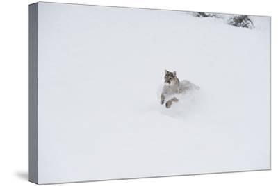 Mountain Lion (Puma) (Cougar) (Puma Concolor), Montana, United States of America, North America-Janette Hil-Stretched Canvas Print