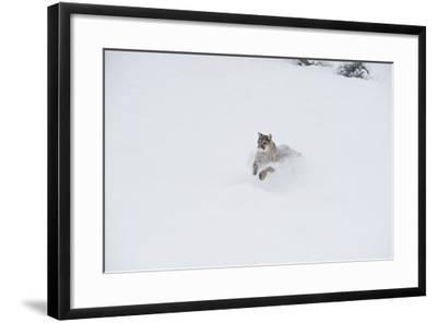 Mountain Lion (Puma) (Cougar) (Puma Concolor), Montana, United States of America, North America-Janette Hil-Framed Photographic Print