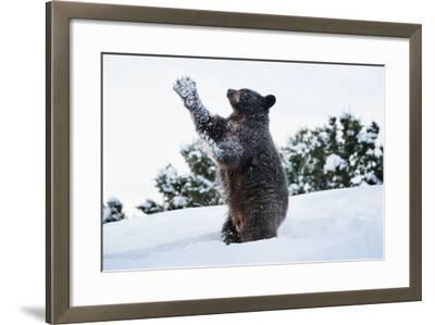 Black Bear (Ursus Americanus), Montana, United States of America, North America-Janette Hil-Framed Photographic Print