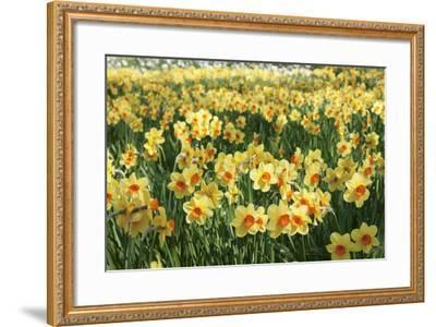 Field of Narcissi, Mainau Island in Spring, Lake Constance, Baden-Wurttemberg, Germany, Europe-Markus Lange-Framed Photographic Print