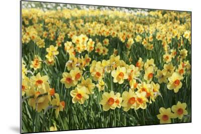 Field of Narcissi, Mainau Island in Spring, Lake Constance, Baden-Wurttemberg, Germany, Europe-Markus Lange-Mounted Photographic Print
