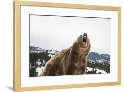 Brown Bear (Grizzly) (Ursus Arctos), Montana, United States of America, North America-Janette Hil-Framed Photographic Print