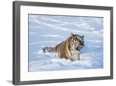 Siberian Tiger (Panthera Tigris Altaica), Montana, United States of America, North America-Janette Hil-Framed Photographic Print
