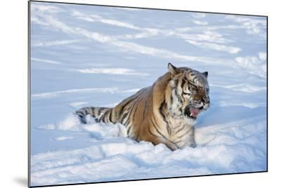 Siberian Tiger (Panthera Tigris Altaica), Montana, United States of America, North America-Janette Hil-Mounted Photographic Print