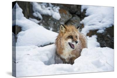 American Red Fox (Vulpes Vulpes Fulves), Montana, United States of America, North America-Janette Hil-Stretched Canvas Print