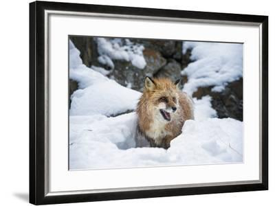 American Red Fox (Vulpes Vulpes Fulves), Montana, United States of America, North America-Janette Hil-Framed Photographic Print