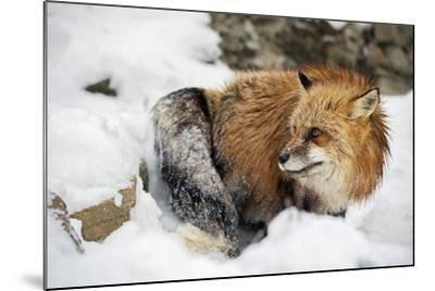 American Red Fox (Vulpes Vulpes Fulves), Montana, United States of America, North America-Janette Hil-Mounted Photographic Print