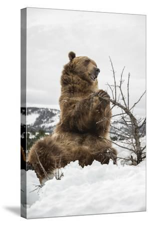 Brown Bear (Grizzly) (Ursus Arctos), Montana, United States of America, North America-Janette Hil-Stretched Canvas Print