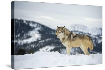 Grey Wolf (Timber Wolf) (Canis Lupis), Montana, United States of America, North America-Janette Hil-Stretched Canvas Print