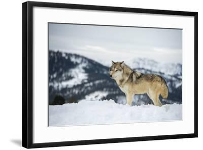 Grey Wolf (Timber Wolf) (Canis Lupis), Montana, United States of America, North America-Janette Hil-Framed Photographic Print