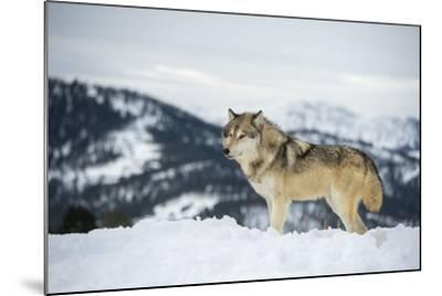 Grey Wolf (Timber Wolf) (Canis Lupis), Montana, United States of America, North America-Janette Hil-Mounted Photographic Print