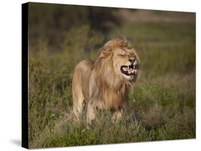 Lion (Panthera Leo) Demonstrating the Flehmen Response-James Hager-Stretched Canvas Print