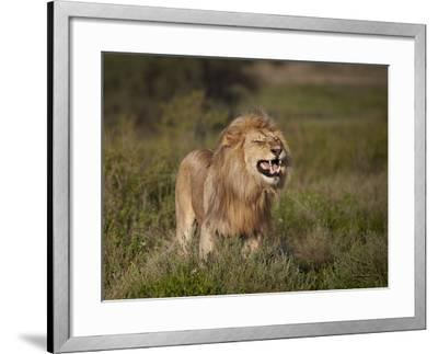 Lion (Panthera Leo) Demonstrating the Flehmen Response-James Hager-Framed Photographic Print
