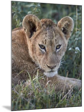 Lion (Panthera Leo) Cub, Ngorongoro Crater, Tanzania, East Africa, Africa-James Hager-Mounted Photographic Print