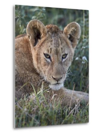 Lion (Panthera Leo) Cub, Ngorongoro Crater, Tanzania, East Africa, Africa-James Hager-Metal Print