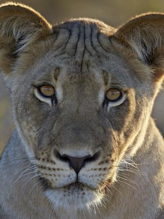 Lioness (Panthera Leo), Kgalagadi Transfrontier Park-James Hager-Framed Photographic Print