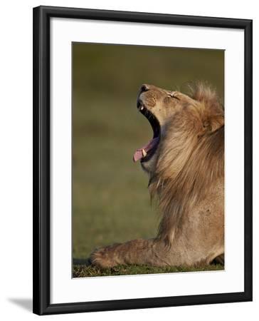 Lion (Panthera Leo) Yawning, Ngorongoro Conservation Area, Serengeti, Tanzania, East Africa, Africa-James Hager-Framed Photographic Print